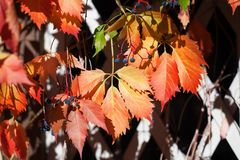 Bright red and orange grape leaves on white wooden lattice grid fence, autumn golden climber plant foliage, fall sunny day. Nature image, Parthenocissus or stock photography