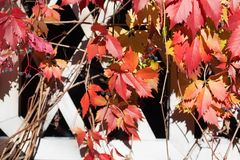Bright red and orange grape leaves on white wooden lattice grid fence, autumn golden climber plant foliage, fall sunny day. Nature image, Parthenocissus or stock image