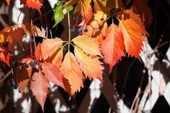 Bright red and orange grape leaves on white wooden lattice grid fence, autumn golden climber plant foliage, fall sunny day nature. Image, Parthenocissus or stock photography