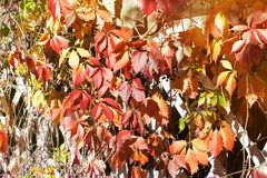 Bright red and orange grape leaves on white wooden lattice grid fence, autumn golden foliage background, fall season sunny day. Bright red and orange grape royalty free stock photo