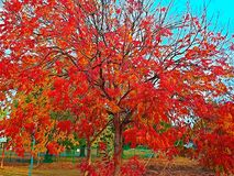 Bright red and orange leaves in the Fall Royalty Free Stock Photography