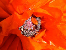 Bright, Red-Orange Poppy, Close Up Royalty Free Stock Photo