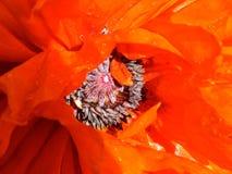 Bright, Red-Orange Poppy Royalty Free Stock Photo