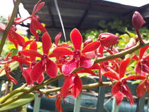 Bright Red Orchid Royalty Free Stock Images