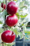 Bright red organic apples on a tree branch. Fresh red apple on a tree branch with leaves Stock Photo