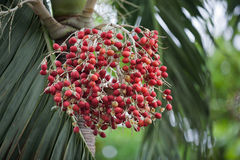 Bright red Palm Tree fruit stock photo