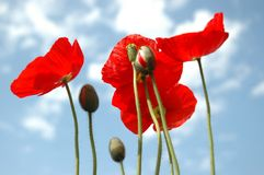 Bright red papaver. Against summer blue sky stock photography