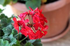 Bright red Pelargonium partially dried flowers on dark green leaves and flower pot background. On warm sunny day royalty free stock photos