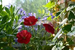Bright red petunia flowers in small garden on the balcony. Home greening stock photography