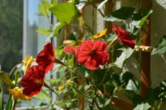Bright red petunia flowers in small garden on the balcony. Sunny summer day.  stock photos