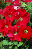 Bright Red Petunias with Pale Yellow Eyes. Closeup of a grouping of brilliant red petunias with pale yellow eyes against a background of green leaves on a sunny Stock Photos