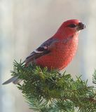 Bright red Pine Grosbeak on Balsam bough Stock Photos