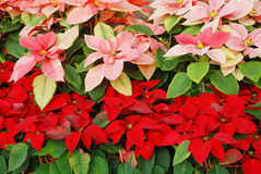Bright red and pink Christmas roses Royalty Free Stock Photos