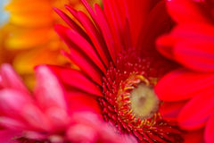 Bright Red and Pink Gerbera flowers background Royalty Free Stock Photo