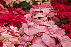 Bright red and pink poinsettia or christmas flower Stock Image