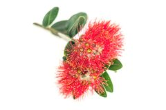 Red pohutukawa flower closeup  on white Royalty Free Stock Images