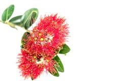 Red pohutukawa flower on white Stock Photos