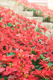 Bright red Poinsettia alongside stone stairs Stock Photo