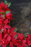 Bright Red Poinsettia flowers. On an old wood background royalty free stock images