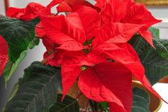 Bright red poinsettia. Traditional Christmas Flower. Royalty Free Stock Image