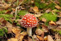 Bright red poisonous mushroom. In autumn forest Royalty Free Stock Image
