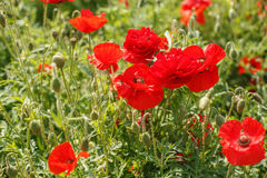 Bright red poppies blooming in the meadow Stock Images