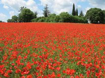 Bright red poppies field. Bright red poppies large field in spring Royalty Free Stock Images