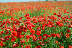 Bright red poppies. In a field. Sunny spring day Royalty Free Stock Photos
