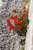 Bright red poppies grow among the Greek stone ruins Royalty Free Stock Image