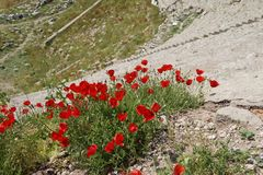 Bright red poppies grow among the Greek stone ruins Royalty Free Stock Photography