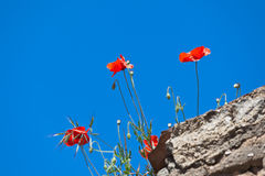 Bright red poppies on stone wall Stock Photos