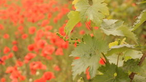 Bright red poppies in a vineyard stock footage