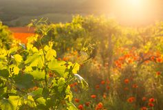 Bright red poppies in a vineyard Stock Photos