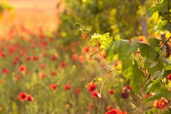 Bright red poppies in a vineyard Stock Photography