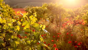 Bright red poppies in a vineyard stock video