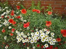 Bright red poppies and white daisies in the front garden stock photos