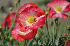 Free Bright Red Poppies With Bee Royalty Free Stock Image - 30675626