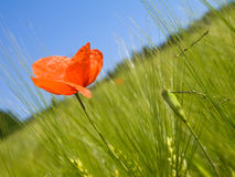 Bright red poppy Stock Photo