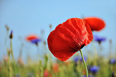 Bright Red Poppy. Close up shot of a red poppy in front of a field and blue sky in summertime Royalty Free Stock Images