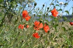 Bright red poppy Stock Image