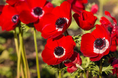 Bright red poppy anemone flowers in garden Stock Image
