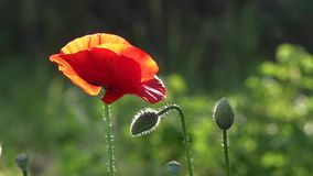 A bright red poppy, attracts bees.Poppy buds blossom.Poppy Idyll. Attractive, bright, red color.In the garden blossom poppies.A delicate flower. The breath of stock video