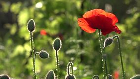 A bright red poppy, attracts bees.Poppy buds blossom.Poppy Idyll. Attractive, bright, red color.In the garden blossom poppies.A delicate flower. The breath of stock video footage