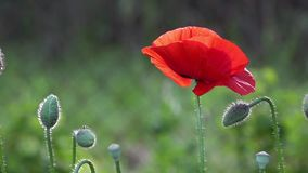A bright red poppy, attracts bees.Poppy buds blossom.Poppy Idyll. Attractive, bright, red color.In the garden blossom poppies.A delicate flower. The breath of stock footage