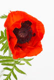 Bright red poppy Stock Photography