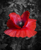 A bright, red poppy on a black and white background Stock Image