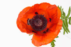 Bright red poppy close-up Royalty Free Stock Image
