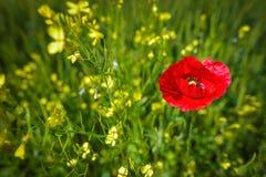Bright red poppy Stock Photo