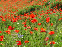 Bright red poppy field. The landscape of a colorful poppy field - a sea of flowers between green rye Royalty Free Stock Photos