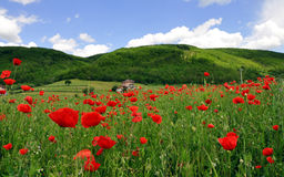 Bright red poppy field Royalty Free Stock Photography